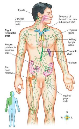 lymphatic system | anatomy and physiology, Human Body